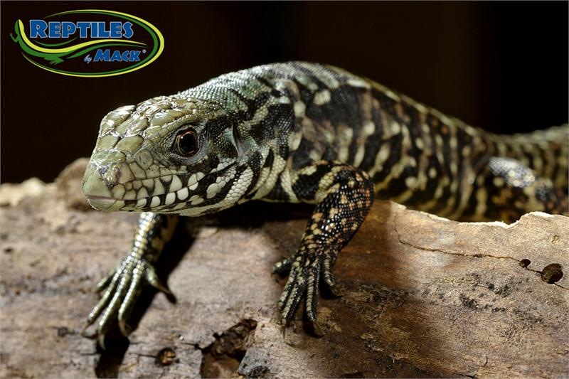 caring for your argentine tegu