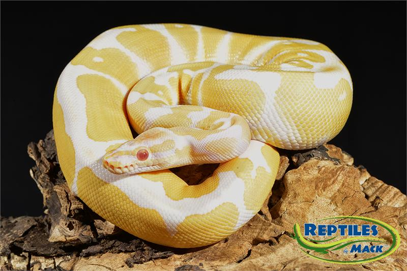 Ball Python Care Sheet - Reptiles by Mack