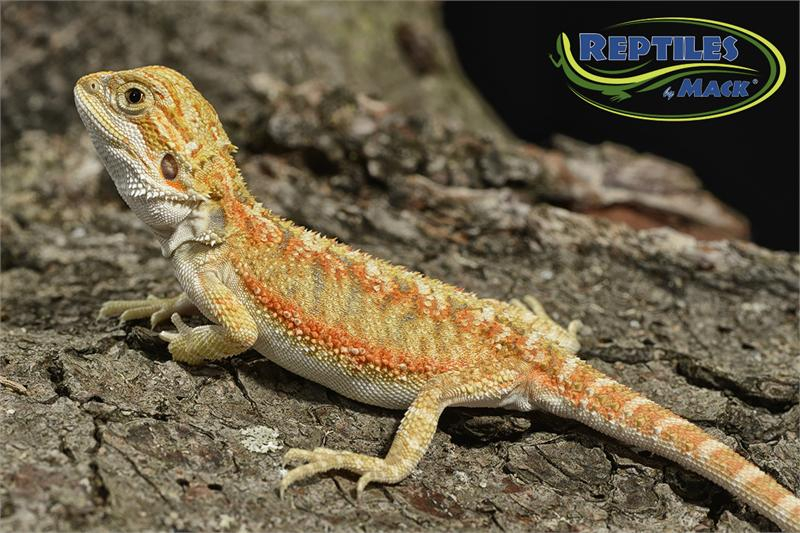 Bearded Dragon Care Sheet - Reptiles by Mack