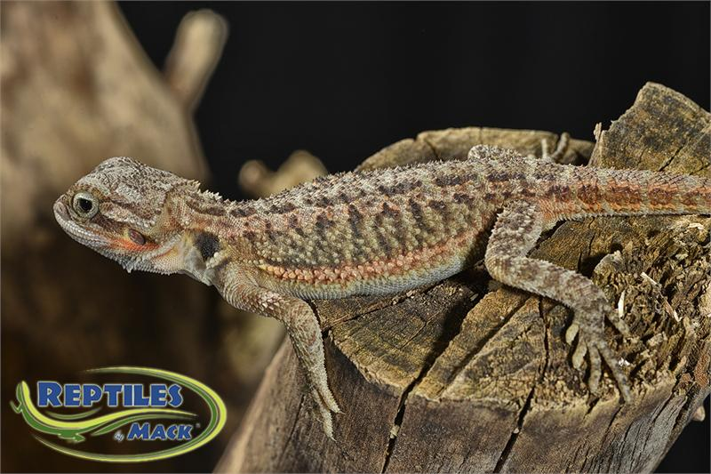 bearded lizard life span - 800×533