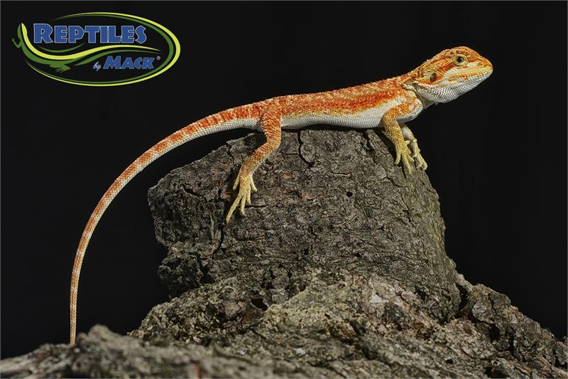 Animal Categories - Reptiles by Mack