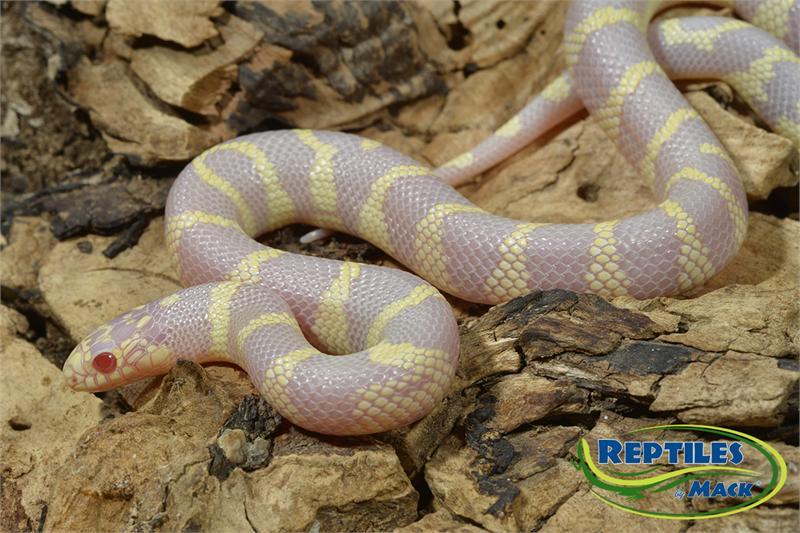 king snake colors