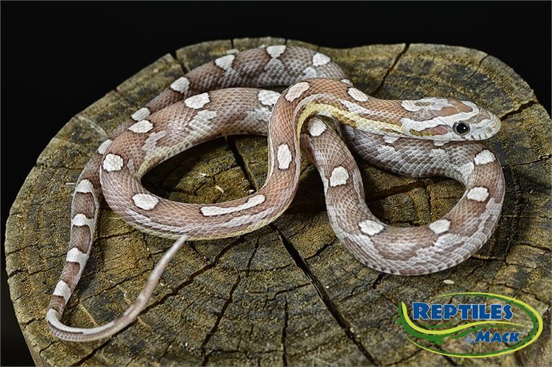 & Corn Snake Care Sheet - Reptiles by Mack