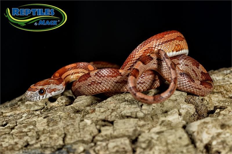 how to feed a corn snake live mice