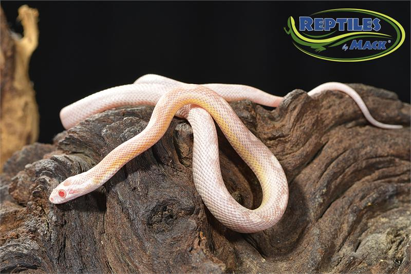 Corn Snake Care Sheet - Reptiles by Mack