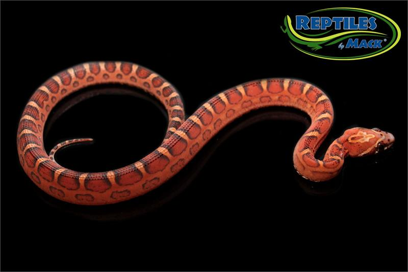 Corn Snake Care Sheet - Reptiles by Mack