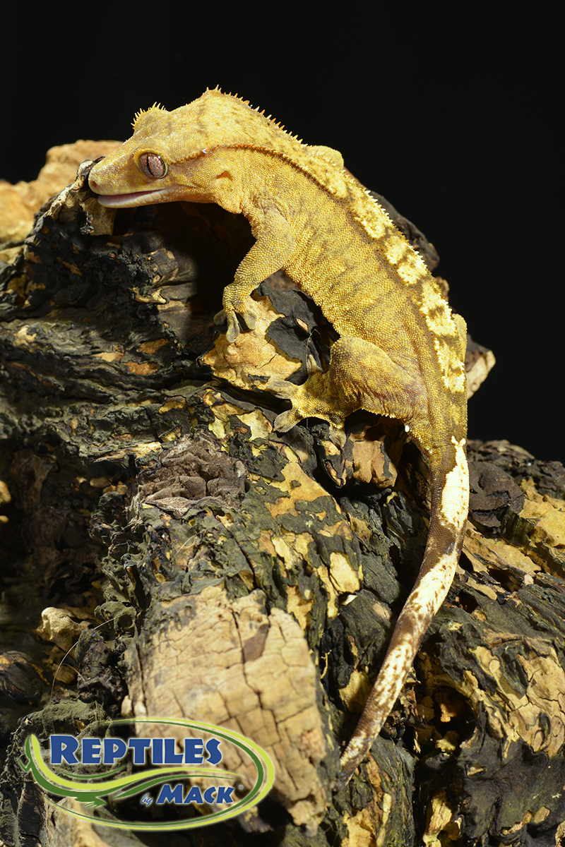 how to take care of a crested gecko