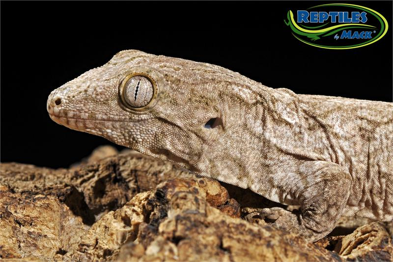 crested gecko care sheet pdf