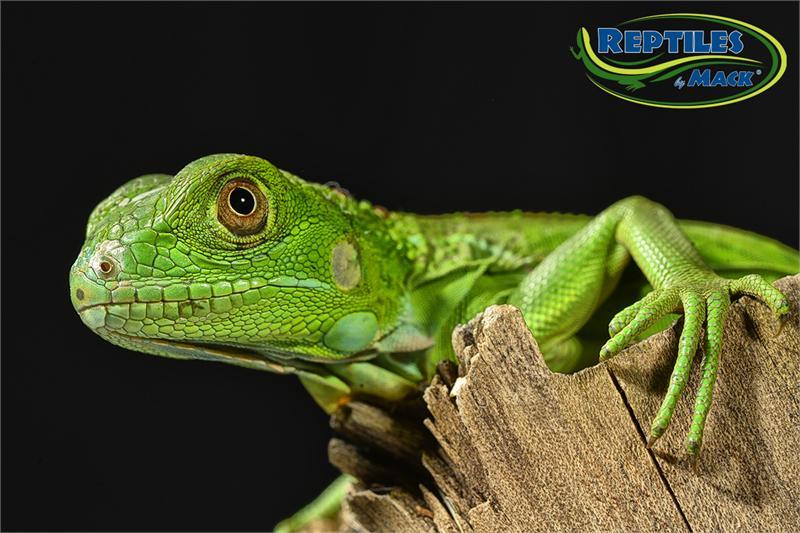 Blue Iguana For Sale : Iguana san diego zoo animals plants