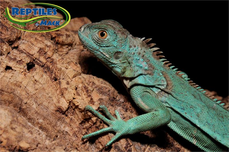Blue Iguana For Sale : Blue iguana on guard yoga mat for sale by robert edgar