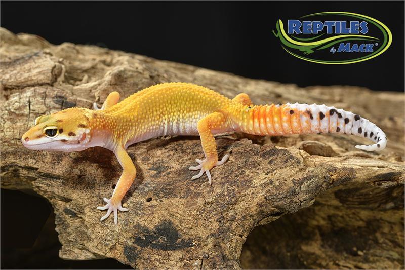 leopard gecko care sheet pdf