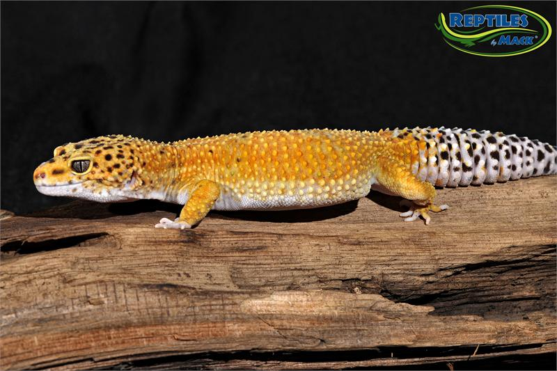 leopard gecko care sheet pdf