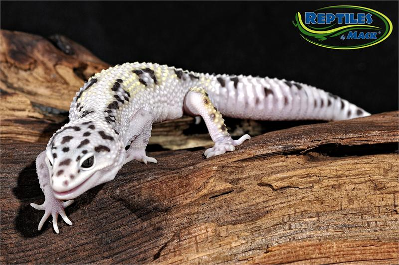 Where can Pics of adult leopard geckos