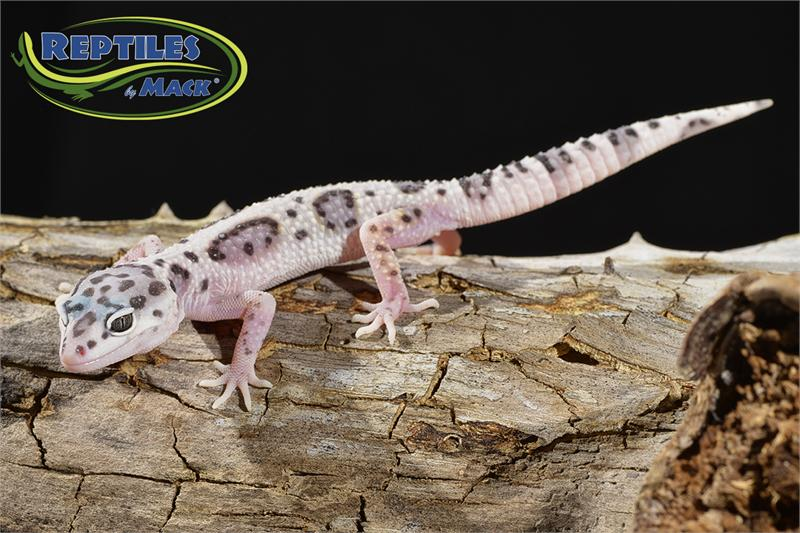 how to help a leopard gecko shed