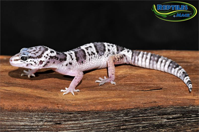 Some Facts About the Leopard Gecko