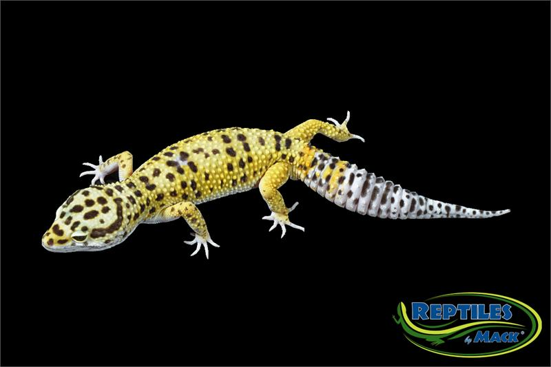 Leopard Gecko Care Sheet - Reptiles by Mack