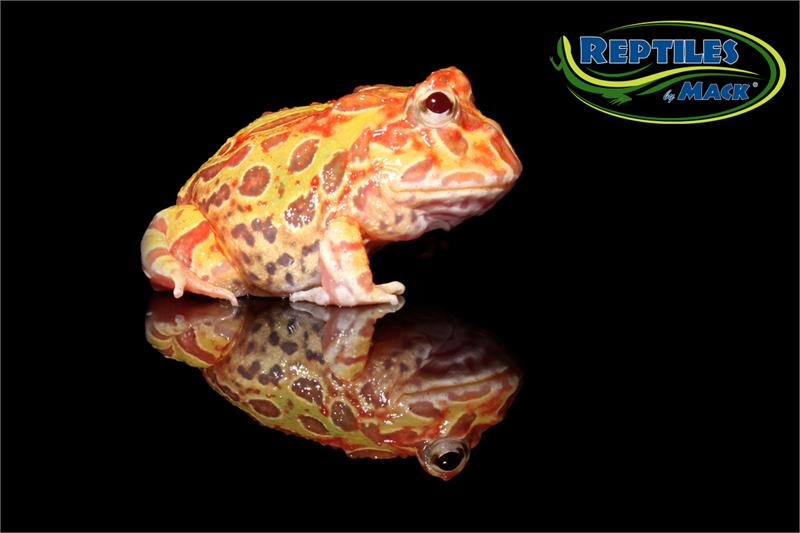 Pacman Frog Care Sheet Reptiles By Mack