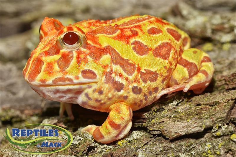pacman frog care sheet pdf