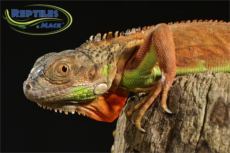 Blue Iguana For Sale : Baby blue axanthic iguana for sale קɛŧŞ underground reptiles