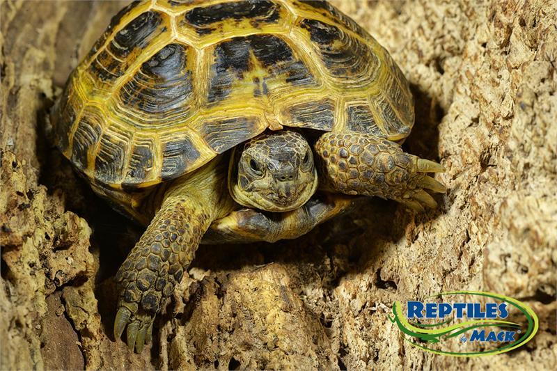 Russian Tortoise Care Sheet - Reptiles by Mack