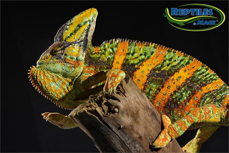 Veiled Chameleon Care Sheet Reptiles By Mack