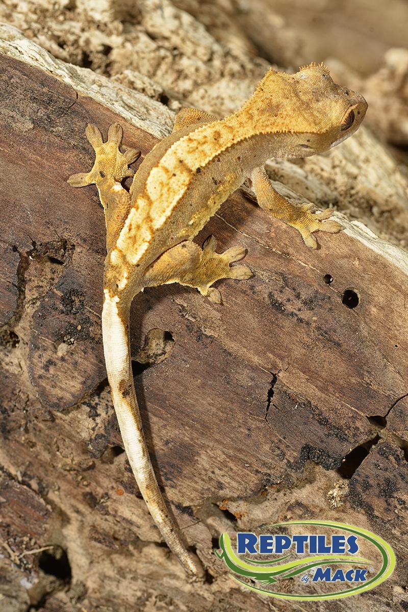 Crested Gecko Banana Baby Food