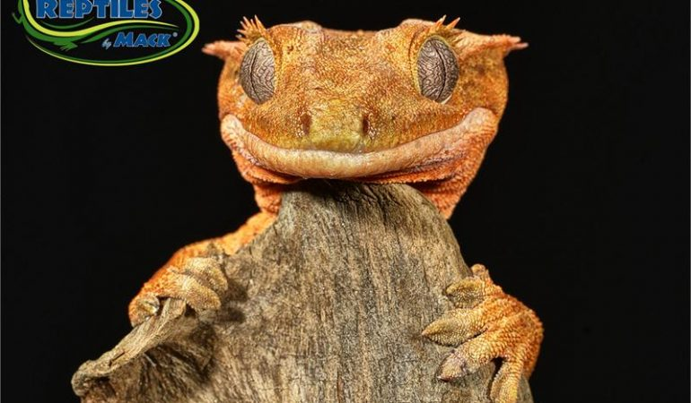 Crested Gecko Care Sheet Reptiles By Mack