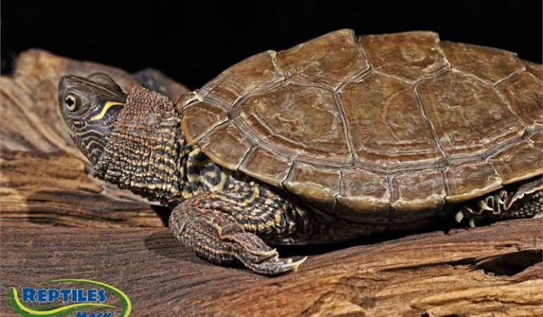 mississippi map turtle male or female Mississippi Map Turtles Care Sheet Reptiles By Mack mississippi map turtle male or female